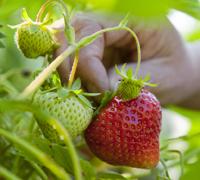 easy-fruit-strawb